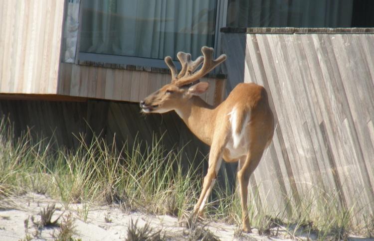 Fire Island Deer